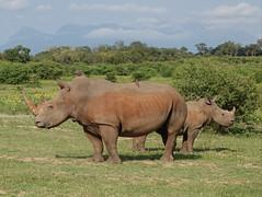 Southern White Rhinoceroses (jdf_92) Tags: southafrica safari rhinoceros ceratotheriumsimumsimum ceratotheriumsimum southernwhiterhinoceros limpopo limpopoprovince africa mammal