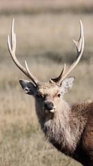 SIKA DEER (Bradders62) Tags: sikadeer sigma150500mmf563dgoshsmlens canoneos7d arne dorsetheaths purbeckdorset dorset deer nature wildlife southwest