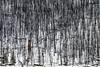 Dead forest (Black Sickle) Tags: canada jasper rockies forest landscape nature d800 nikon winter snow