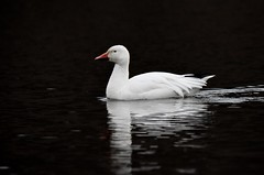Snow Goose (My Long Lens) Tags: snow snowgeese pennsylvania nikon bird birdwatcher migration