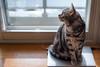 _NCL3471-Edit (chitoroid) Tags: nikond750 nikkor50mmf18g japan hokkaido sapporo cat