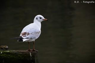 Möwe / Gull