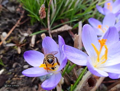 Blue crocus with bee (Tabea-Jane) Tags: crocus bee insect blue spring nature krokus biene insekt blau frühling natur