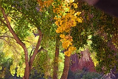 ALL OUR WISDOM IS STORED IN THE TREES (Irene2727) Tags: trees nature leaves colors green canyondechelly arizona landscape scape pano panorama
