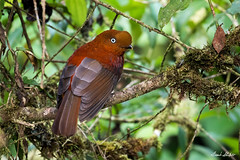 Female Andean Cock-of-the-Rock (Rupicola peruvianus) (Frank Shufelt) Tags: andeancockoftherock rupicolaperuvianus female cotingidae forestbirds passeriformes songbirds aves birds wildlife caquetá colombia southamerica 2018 20180213 5433