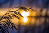Rising in the Reed (Jens Haggren) Tags: sun sunrise morning grass reed light colours detail bokeh landscape sea water reflections sky seaside nature nacka sweden olympus em1 jenshaggren
