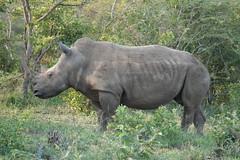 Southern White Rhinoceros (jdf_92) Tags: southafrica safari rhinoceros ceratotheriumsimumsimum ceratotheriumsimum southernwhiterhinoceros limpopo limpopoprovince africa mammal