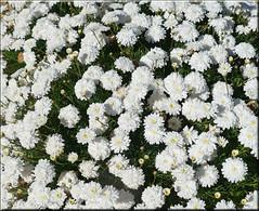 white flowers (mhobl) Tags: flowers white green maroc morocco springtime