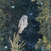 Great Gray Owl hunting (annkelliott) Tags: alberta canada swofcalgary nature wildlife ornithology avian bird birds birdofprey owl greatgrayowl strixnebulosa strigiformes strigidae strix frontsideview adult perched tree branch evergreen trees forest bokeh outdoor winter 11march2018 fz200 fz2004 panasonic lumix annkelliott anneelliott ©anneelliott2018 ©allrightsreserved