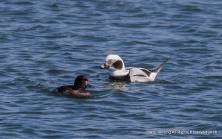 Long Tailed Duck - Barrow Tanks