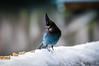 Snowy Day Steller's Jay (dan in real life) Tags: cyanocittastelleri geaidesteller characrestada crest bird bluebird tree hungry snow cold winter birdy nikon d300 nikkor70200mmf28d nikkor stellersjay dmyers