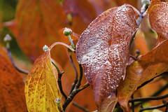 Autumn burning red (FBK1956) Tags: autumn red rot canoneos5dmarkiv canoneos canon herbst blätter natur pflanzen 2017 botanischergarten deutschland düsseldorf nrw