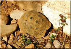 duck and cover (mhobl) Tags: landschildkröte turtle morocco maroc amtoudi animal