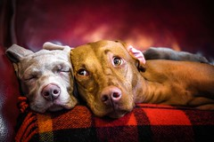 Puppy Love (Neil_Wagner) Tags: dogs vizsla weimaraner ripley boo cute adorable expression puppy