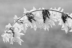 (Px4u by Team Cu29) Tags: brennnessel brennessel eis frost raureif rauhreif winter kälte kalt zweig schnee