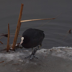 2018_03_0216 (petermit2) Tags: coot ice winter oldmoor dearnevalley dearne rotherham barnsley southyorkshire rspb