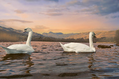 swans swimming (roverkev) Tags: