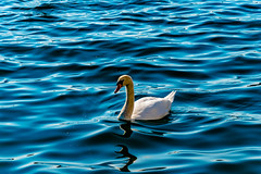 swan (Zanahr) Tags: swan bird nature naturelover water blue nikon nikon5500