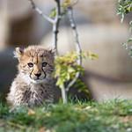 Cheetah behind the