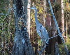 Standing In The Shadows (ACEZandEIGHTZ) Tags: swamp nature nikon d3200 big cypress everglades greatblue heron herodias ardea turnerriver road