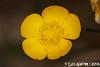 Ranunculus sp. (Luís Gaifém) Tags: ranunculussp ranunculus ranunculaceae luísgaifém macro natureza nature planta plantae flor flower castelodeneiva