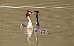 Great Crested Grebes - let's dance (westoncfoto) Tags: