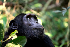 Chimpanzé dans le parc national de Kibale, en Ouganda (Voyages Lambert) Tags: ecotourism safarianimals endangeredspecies travel gombenationalpark tourism maleanimal portrait environmentalconservation familytree cliffdwelling safari evolution mahalemountainnationalpark bonobo smiling looking tranquilscene greencolor blackcolor nationallandmark vacations wildlife nature outdoors closeup profileview sideview humanface family uganda tanzania kenya democraticrepublicofthecongo republicofthecongo africa animaleye animalhead animalsinthewild monkey chimpanzee ape primate mammal livingorganism mountain forest rwenzori kenyanculture oldworldmonkey tanzanianculture ugandanculture