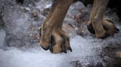 des pattes anti-glisse :) (bulbocode909) Tags: pattes chiens glace hiver gel nature montagnes pissevache suisse
