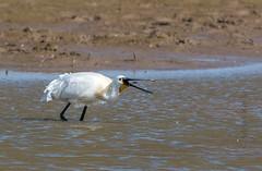 DSC_3510 (Adrian Royle) Tags: lincolnshire framptonmarsh rspb nature wildlife bird heron spoonbill nikon