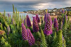 Sunlight (ShutterFingrs) Tags: pacificgrove flower wildflowers stormy beach cove shoreline