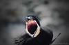 """Cri de survie... ( P-A) Tags: ornithologue oiseaux oisillons bébés cris nids nouveau aventure métissurmer québec bassaintlaurent photos simpa© ithinkthisisart """"nikonflickraward"""" ~~atmosphere~~"""