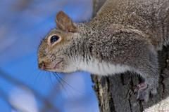 Gros plan de l'écureuil gris, Québec, Canada - 5162 (rivai56) Tags: villedequébec québec canada ca écureuilgris écureuil squirrel sonya6000 sonyphotographing grosplan gros plan de lécureuil gris close up gray