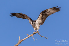 Male Osprey landing sequence - 25 of 28
