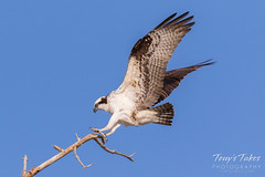 Male Osprey landing sequence - 16 of 28