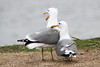 California Gull,  Larus californicus (jlcummins - Washington State) Tags: kennewick birds columbiapark washingtonstate gull californiagull