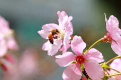IMG_4221M 小春日和 (陳炯垣) Tags: nature flower bee blooming blossom cherry spring さくら