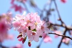 IMG_4012M ひかりを浴びて (陳炯垣) Tags: flower springtime blooming blossom pink cherry さくら