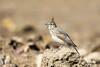 Cochevis huppé (Jacques GUILLE) Tags: cochevishuppé domainedesoiseaux oiseau 09 alaudidés ariège crestedlark galeridacristata mazères passériformes bird calmont occitanie france fr