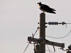 Osprey perch (thomasgorman1) Tags: osprey perch nature canon birds desert mexico line electric wildlife