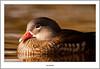 Female Mandarin Duck On River Leven (flatfoot471) Tags: 2017 balloch bird duck mandarin march nature normal riverleven rural scotland spring unitedkingdom westdunbartonshire gbr