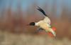 Common merganser (Male) (salmoteb@rogers.com) Tags: bird wild outdoor nature wildlife duck male toronto canada ontario inflight common merganser
