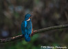 Final moments (davidrhall1234) Tags: commonkingfisheralcedoatthis kingfisher birds bird birdsofbritain beak adeldamnaturereserve adel feather fishing nikon nature outdoors wildlife world woodland wildlifetrust yorkshire ywt yorkshirewildlifetrust
