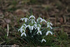"In our village, ""snowdrops"" (Fred / Canon 70D) Tags: canon flowers sneeuwklokjes bloemen plant garden eefde canon70d canoneos ef100mmf28lmacroisusm spring spring2018 snowdrops snowfox"