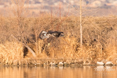 Bald Eagle fishing attempt 2 - 10 of 12