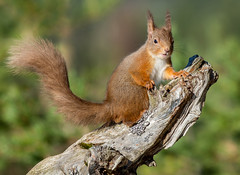 JWL8772  Red Squirrel.. (jefflack Wildlife&Nature) Tags: redsquirrel squirrel squirrels scotland highlands countryside cairngorms wildlife woodlands forest pineforest pines animal animals moorland mammal nature