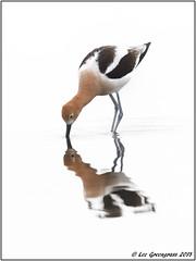 Digging Deep (pandatub) Tags: bird birds avocet americanavocet baylands paloalto reflection