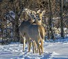 Deer.  Seeing Double. (rumerbob) Tags: deer wildlife wildlifephotographer wildlifewatcher nature naturewatcher naturephotography buckscountypa canon7dmarkii canon100400mmlens