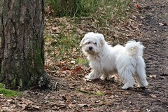 """Mommy, the forest is great!"" :) (green_lover) Tags: dog dogs maltese puppy fela pets animals white fauna 7dwf"