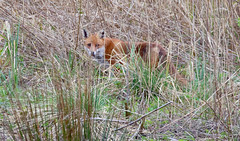 Red Fox On The Hunt (The Rustic Frog) Tags: red fox canine wild reeds warwickshire wildlife life trust brandon marsh nature centre uk england midlands central 2017 canon camera waters edge hunt hunting food