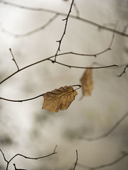 Les dernières feuilles *** (Titole) Tags: leaves brown branches shallowdof titole nicolefaton friendlychallenges storybookwinner thechallengefactory